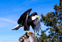 American Bald Eagle, 8 Oct 2016, Courtesy of HawkQuest